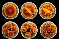 ¿Cuál es el porcentaje de embriones que llegan a blastocisto?